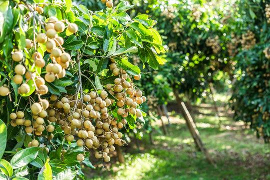 Longan orchards - Tropical fruits young longan in Lamphun, Thail