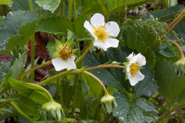 flowers of strawberry in the garden