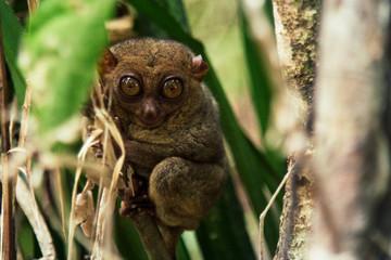 Small tarsier staring