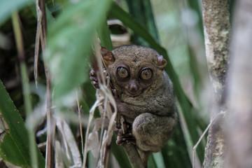 A smiling tarsier