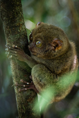 Tarsier holding on to branch