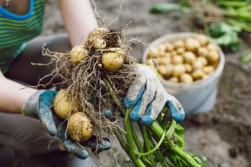 harvesting fresh bush unwashed organic potatoes