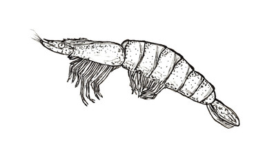 Hand drawn sketch graphics shrimp isolated on white