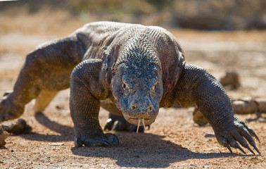 Komodo dragon is on the ground. Interesting perspective. The low point shooting. Indonesia. Komodo National Park. An excellent illustration.