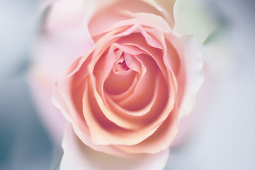 Close up of a peach pink rose