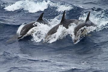 Three common doplhins  jumping and splashing in  wild