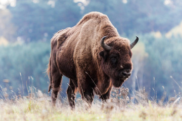 Photo sur Plexiglas Bison bison