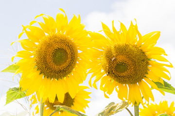 sunflower field over