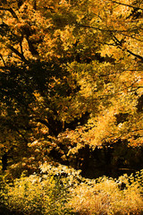 Golden-leaved trees