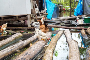 Chickens on Floating Logs