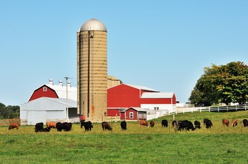 Cattle on the Farm