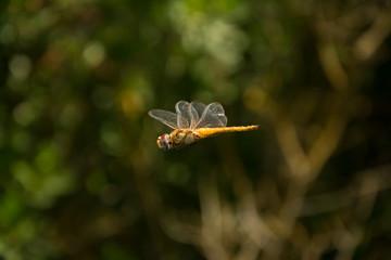 La libélula vuela y muestra sus alas.