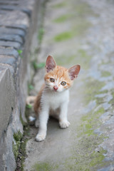 Ginger kitten sitting in the street and looking at the camera, Chongzhou, Sichuan Province, China.