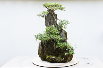 Bonsai in front of a white wall.