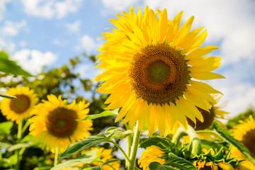 Bright yellow sunflower over blue sky