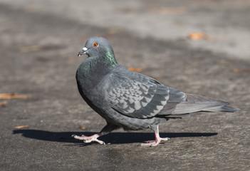 Feral Pigeon