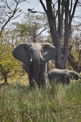 lone elephant Loxodonta africana, national park Moremi, Botswana