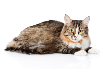 Siberian cat lying and looking at camera. isolated on white back