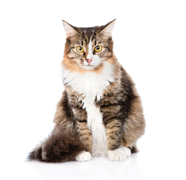 Siberian cat sitting in front and looking at camera. isolated on