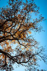illuminated oak leaves