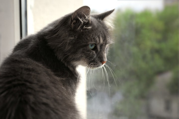 Beautiful grey cat lying on window board, close up