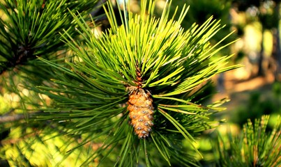 Pine cone on pine trees in to the forest