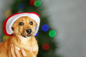 Small cute funny dog with Santa hat holding in hands on Christmas tree background