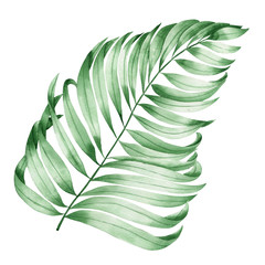 An illustration with an isolated branch of the leaves of an exotic palm painted in watercolor on a white background
