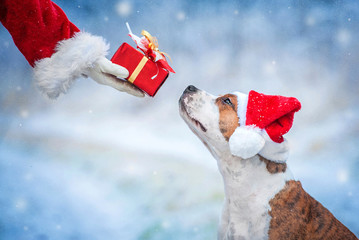 American staffordshire terrier dog with a christmas hat taking a present from Santa's hand