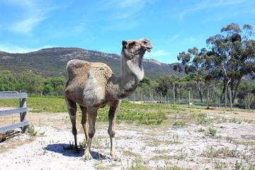 Camel in fenced paddock in Australian bushland