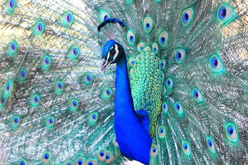 Close up of Australian Peacock with colourful tail fanned out