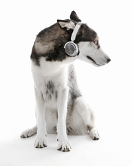 Siberian Husky sitting in headphones, isolated on white
