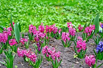 Hyacinths Flowers. Spring Park.