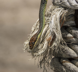 paradise tree snake or paradise flying snake on a rope in Koh Adang, Thailand