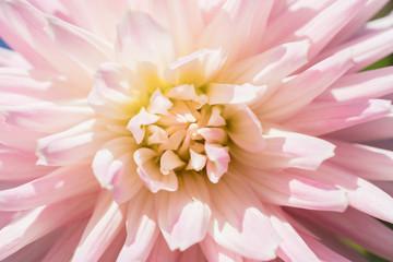 ピンクのダリアのマクロ