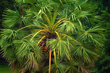 Green palm sugar tree in Asian jungle.