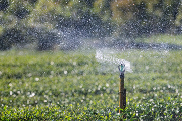 Garden Sprinkler Watering Tea Plantation.