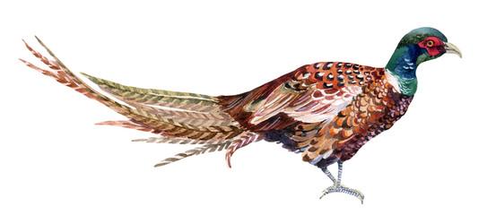 Watercolor pheasant.