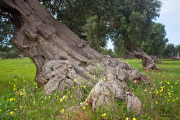 secular olive tree - Salento - Italy