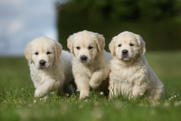 Three golden retriever puppies walking on grass lawn