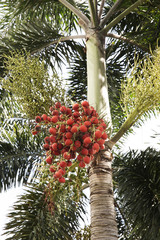 red dates clusters of Palm tree