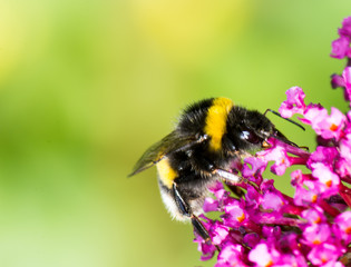 Bumblebee on buddleia blossoms