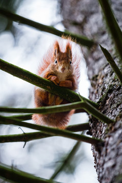 Cute red squirrel in the branches of the old pine tree watching