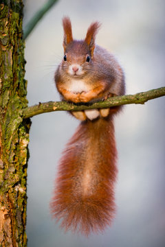 Cute little red squirrel sitting on the tiny tree branch