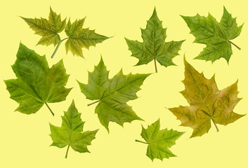 Preparations for the vegetable ornament in the form of green maple leaves