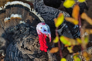 turkey bird