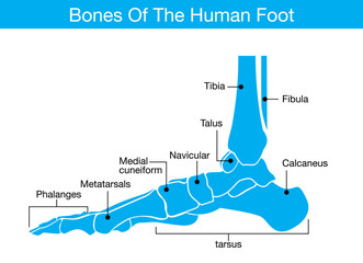 Illustration about bones of the human foot which it was blue tone color and have describe to name of all bone