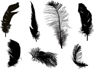 seven fluffy black feathers isolated on white