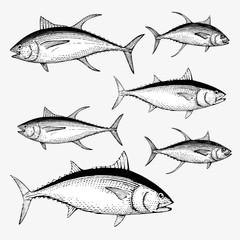 Tuna Illustration