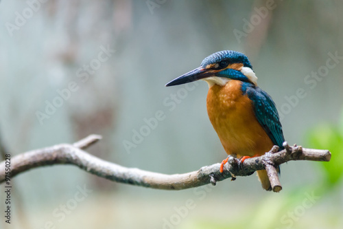 Wall mural Beautiful kingfisher